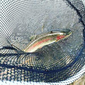 Rainbow Trout — Rémi V'nce