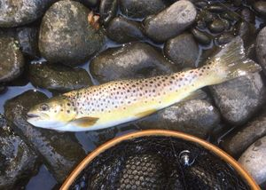 Brown Trout — Mat Pako