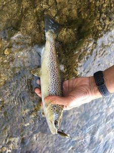 Brown Trout — Bertrand Leblanc