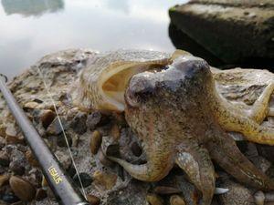 Common Cuttlefish — Adrien fishingriverandsea