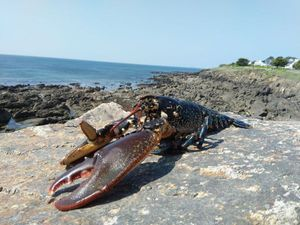 European Lobster — Stevan _56
