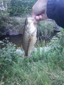 Largemouth Bass — Mathieu Blanc