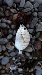 White Seabream — Bertrand Kerdreux