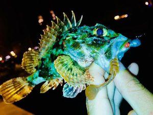 Brown Scorpionfish — Ghjuvà Azara-Mariani