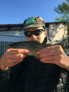 Brown Trout — Enzo Campagni