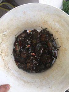 American Signal Crayfish — Arnaud Muller