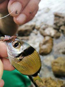 Common Two-banded Seabream — Adrien fishingriverandsea