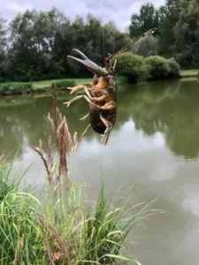 Spinycheek Crayfish — Arnaud Degezelle