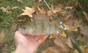 European Perch — Kr Fishing