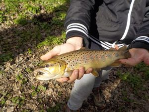 Brown Trout — Martin _rouxtengle