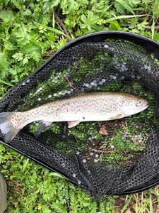 Rainbow Trout — Jonathan Dignac