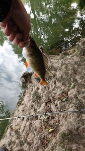 European Perch — Johnny Givry