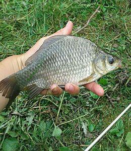 Crucian Carp — Kr Fishing