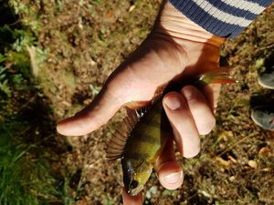 European Perch — Nicolas le DVhat