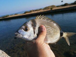 Common Two-banded Seabream — Marco Iseppi