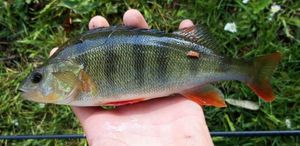 European Perch — Theodore&Romain jouvin&thirion