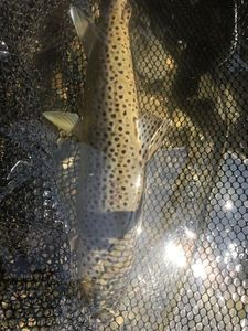 Brown Trout — Yannick Daubeze