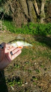 European Perch — Scary Fishing