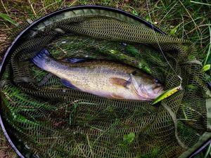 Largemouth Bass — Stephane Cot