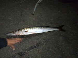 Great Barracuda — Fishing Troll Spinning