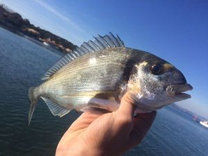 Gilthead Seabream — Fishing Porquerolles