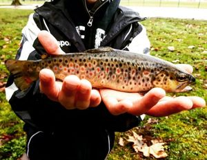Brown Trout — Paulfishing 1.9.0.9