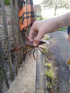 Spinycheek Crayfish — Jules Warnier