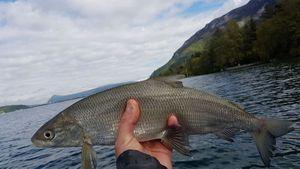 Lake Whitefish — Mickael Rdf