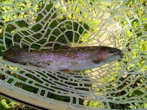 Rainbow Trout — Romuald Suard