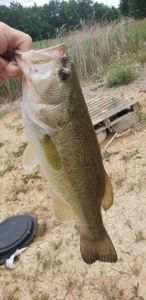 Largemouth Bass — Kendrick Jacoupy