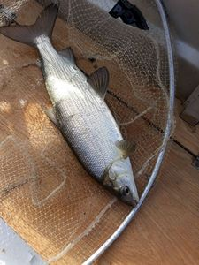 European Whitefish — Monin Fabrice