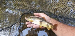 Brown Trout — Yo Fono