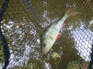 European Perch — Antho Toteamfishing