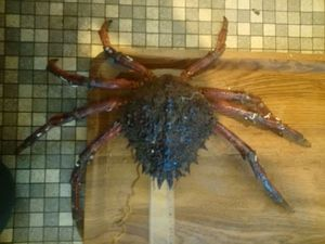 Araignée de Mer — Christophe Vallé