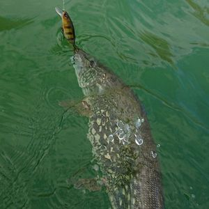 Northern Pike — Gael Even