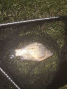 Crucian Carp — Dorian No kill 38