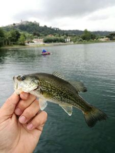 Largemouth Bass — Mattia Azzollino