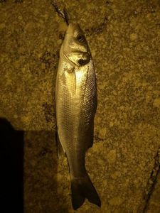 Thicklip Grey Mullet — Julien Mahier