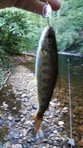 Atlantic Salmon (Landlocked) — Laurent Pignol