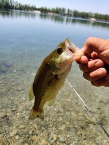 Largemouth Bass — BACHIR YOUSFI