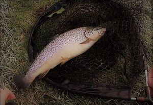 Brown Trout — Angélique André