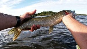 Northern Pike — Fredo Auliac