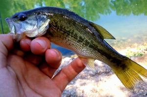 Largemouth Bass — les pêcheur du 11 (youtube)