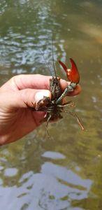 Spinycheek Crayfish — Chris Str