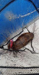 Common Cuttlefish — Matthieu Millet