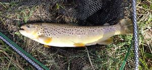 Brown Trout — Pike Finder