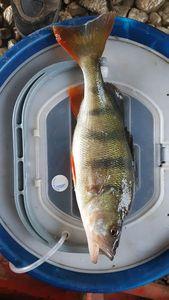 European Perch — Brice  MANGENOT