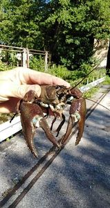 Spinycheek Crayfish — Stéphane  DUPONT