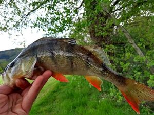 European Perch — Nikos Raplapla