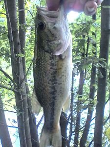 Largemouth Bass — Mathis Blat Donnadieu